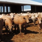 Many Canadians actively search for hormone-free beef for their next meal, but hormonal implants may not be the enemy. In reality, growth implants help beef animals convert feed more efficiently, which results in leaner meat and keeps the price of beef more reasonable for the consumer. In addition, the levels of horses in these animals not be as worrisome as some think. Photo by Rudolph Spruit
