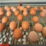 White and brown eggs come from chickens of different breeds